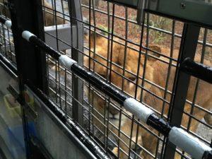 富士サファリパークの雌ライオン